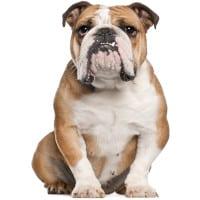 bulldogge hundefutter
