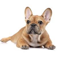 franzoesische bulldogge hundefutter